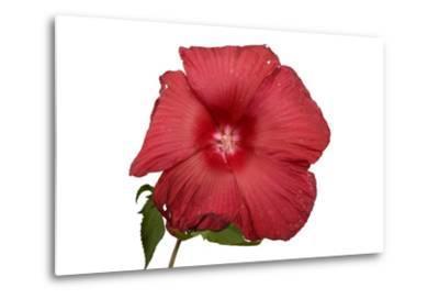 A Hibiscus Flower, Malvoideae Hibisceae