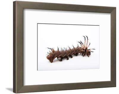 A Hickory Horned Devil Caterpillar, Citheronia Splendens.