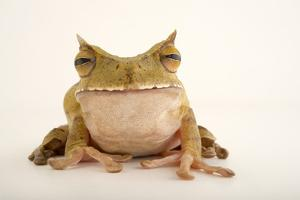 A horned marsupial tree frog at the El Valle Amphibian Conservation Center. by Joel Sartore