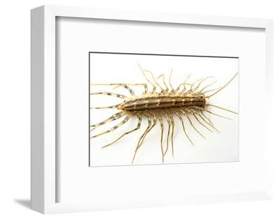 A House Centipede, Scutigera Coleoptrata, from the Wild.