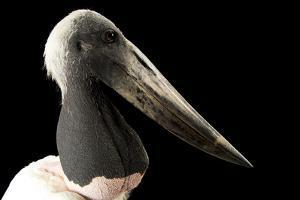 A Jabiru stork, Jabiru mycteria by Joel Sartore