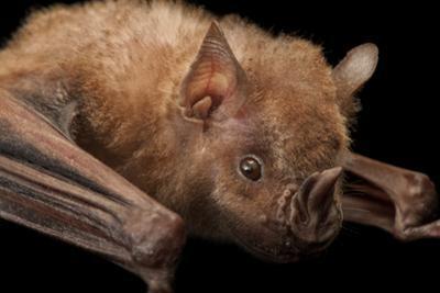 A Jamaican Fruit Bat, Artibeus Jamaicensis, at the Houston Zoo