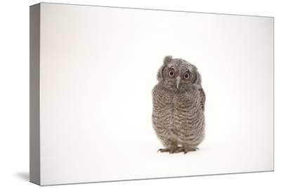 A Juvenile Eastern Screech Owl, Megascops Asio.