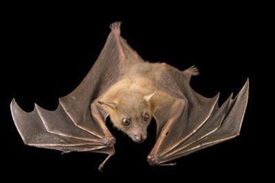 A Lesser Short-Nosed Fruit Bat, Cynopterus Brachyotis, at the Lubee Bat Conservancy.