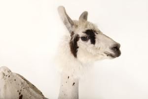 A Llama, Lama Glama, after a Recent Summer Haircut at the Lincoln Children's Zoo by Joel Sartore