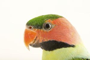 A long tailed parakeet, Psittacula longicauda longicauda, at Penang Bird Park. by Joel Sartore