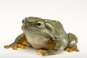 A Magnificent Tree Frog, Litoria Splendida, at the Wild Life Sydney Zoo by Joel Sartore