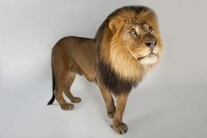 A Male African Lion, Panthera Leo by Joel Sartore