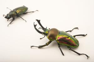 A Male and a Female Rainbow Stag Beetle, Phalacrognathus Muelleri, at the Houston Zoo. by Joel Sartore