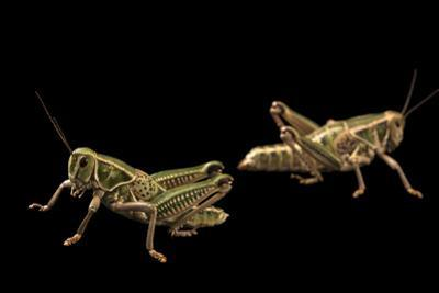 A male and female lubber grasshopper, Brachystola magna by Joel Sartore