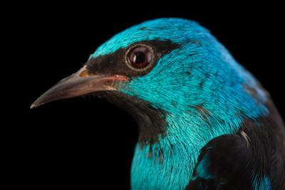 A Male Blue Dacnis, Dacnis Cayana, at Tracy Aviary by Joel Sartore