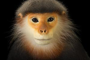 A Male, Critically Endangered Grey Shanked Douc Langur, Pygathrix Cinerea by Joel Sartore
