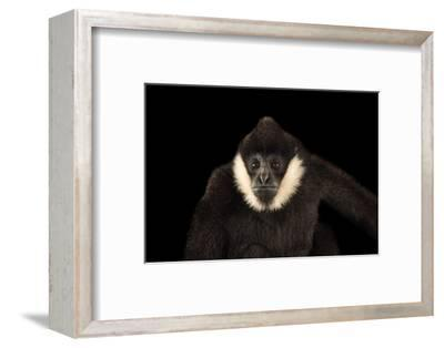 A Male, Critically Endangered Northern White Cheecked Gibbon