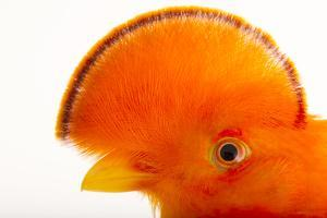 A Male Guianan Cock of the Rock, Rupicola Rupicola, at the Dallas World Aquarium by Joel Sartore