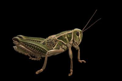 A male lubber grasshopper, Brachystola magna by Joel Sartore