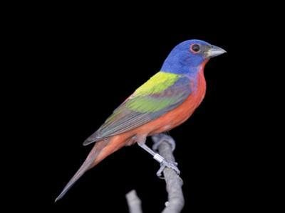 A Male Painted Bunting, Passerina Ciris