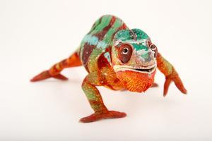A Male Panther Chameleon, Furcifer Pardalis, at the Dallas World Aquarium by Joel Sartore