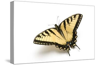 A Male Tiger Swallowtail Butterfly, Papilio Glaucas.