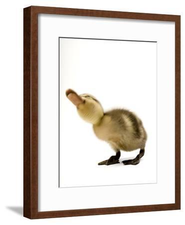 A Mallard Duckling, Anas Platyrhynchos
