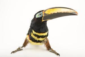 A Many Banded Aracari, Pteroglossus Pluricinctus, at the Dallas World Aquarium by Joel Sartore