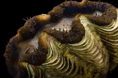 A Maxima Clam, Tridacna Maxima, at the Columbus Zoo. by Joel Sartore