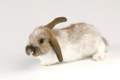 A Mini Lop-Eared Rabbit, Oryctolagus Cuniculus, at the Safari Land Pet Store. by Joel Sartore