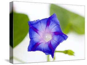 A Morning Glory Flower by Joel Sartore