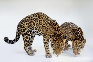 A Mother and Son Jaguar, Panthera Onca, at the Brevard Zoo by Joel Sartore