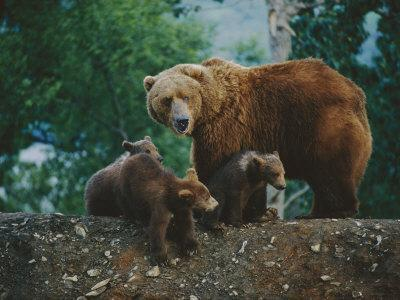 A Mother Grizzly Bear Looks over Her Shoulder as Her Cubs Sit at Her Feet