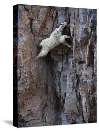 A mountain goat descends a sheer rock wall to lick exposed salt.