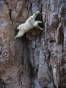 A mountain goat descends a sheer rock wall to lick exposed salt. by Joel Sartore