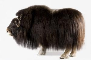 A Musk Ox, Ovibos Moschatus, at the University of Alaska in Fairbanks. by Joel Sartore