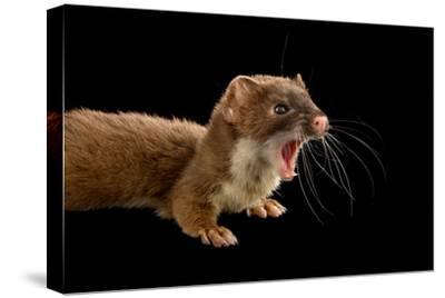 A New York Weasel, Mustela Frenata, at the John Ball Zoo