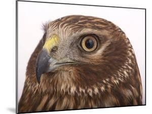 A Northern Harrier, Circus Cyaneus by Joel Sartore