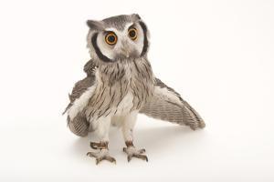 A Northern White-Faced Owl, Ptilopsis Leucotis, at the Cincinnati Zoo by Joel Sartore
