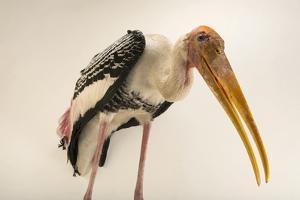 A painted stork, Mycteria leucocephala, at Kamla Nehru Zoological Garden, Ahmedabad, India by Joel Sartore