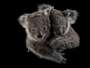 A Pair of Federally Threatened Koala Joeys Snuggle Together by Joel Sartore