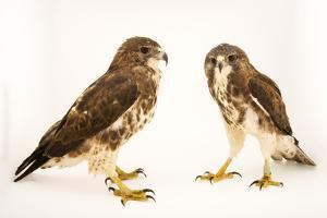 A pair of Hawaiian hawks or 'io, Buteo solitarius by Joel Sartore