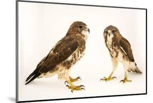 A pair of Hawaiian hawks or 'io, Buteo solitarius by Joel Sartore