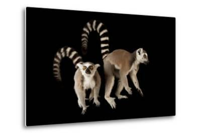 A Pair of Ring-Tailed Lemurs, Lemur Catta, at the Lincoln Children's Zoo.