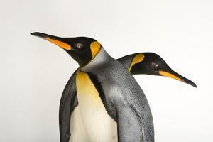 A Pair of South Georgia King Penguins at the Indianapolis Zoo by Joel Sartore