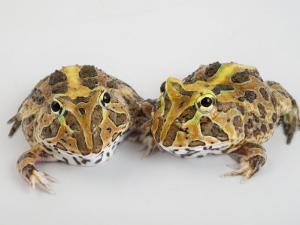 A pair of vulnerable Pacific horned frogs by Joel Sartore