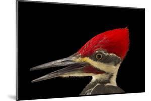 A Pileated Woodpecker, Dryocopus Pileatus. by Joel Sartore