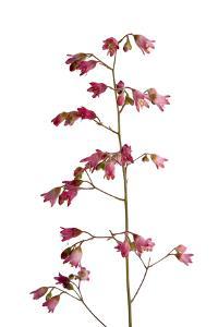 A Pink Alumroot Plant, Heuchera Rubescens by Joel Sartore