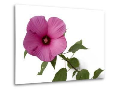 A Pink Hibiscus Flower, Malvoideae Hibisceae