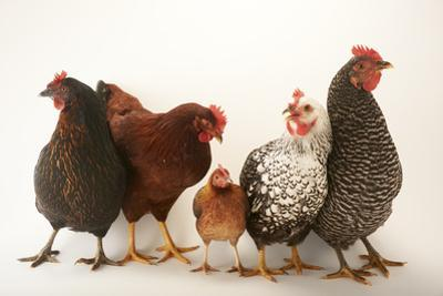 A Plymouth Barred Rock, Silver Laced Wyandotte, Nh Red, and Black Sex Link and Bantam Hen