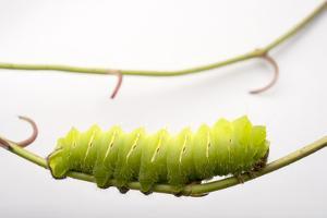 A Polyphemus Moth Caterpillar, Antheraea Polyphemus, at the Minnesota Zoo. by Joel Sartore
