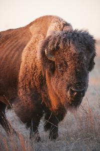 A Portrait of a Bison on a Ranch by Joel Sartore
