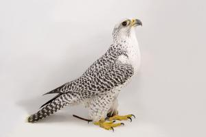A Portrait of a Gyrfalcon, Falco Rusticolus, at the Point Defiance Zoo and Aquarium by Joel Sartore