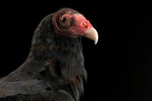 A Portrait of a Turkey Vulture (Cathartes Aura) by Joel Sartore